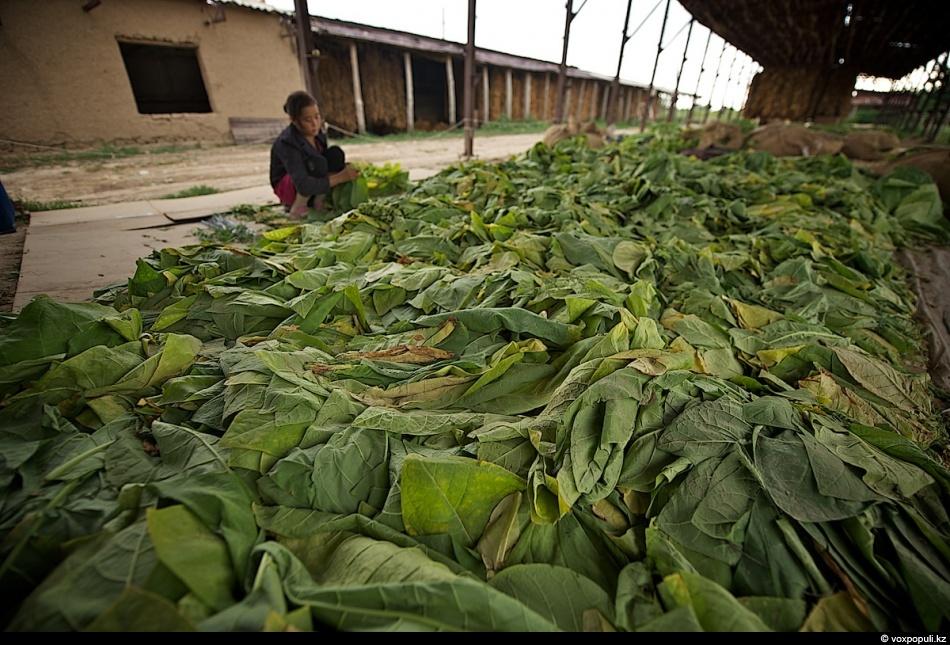 Зеленый табак для кальяна